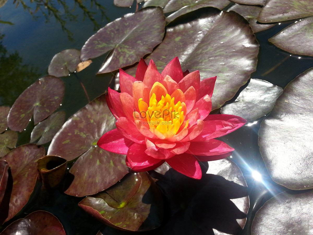 The Red Lotus Flower In The Lotus Pond Photo Imagepicture Free