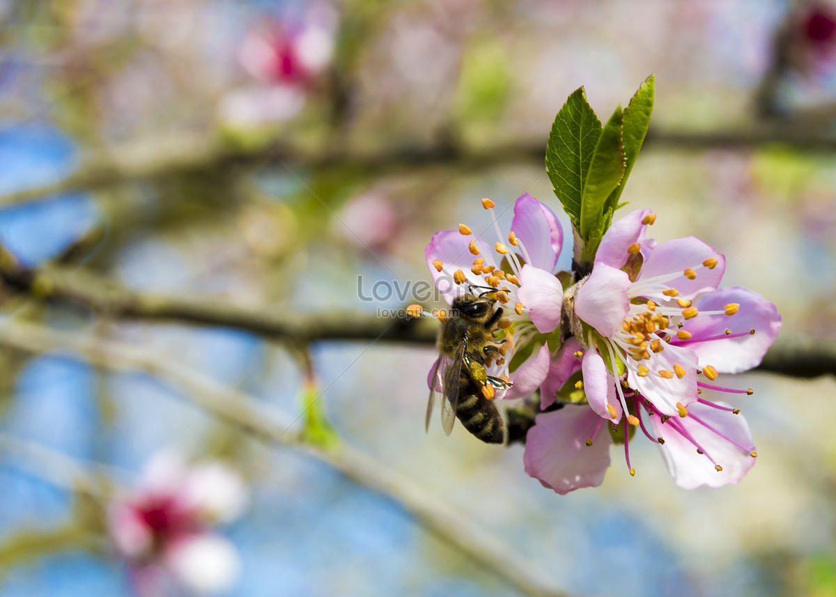 Bees That Are Eating Nectar In The Early Spring Photo Imagepicture