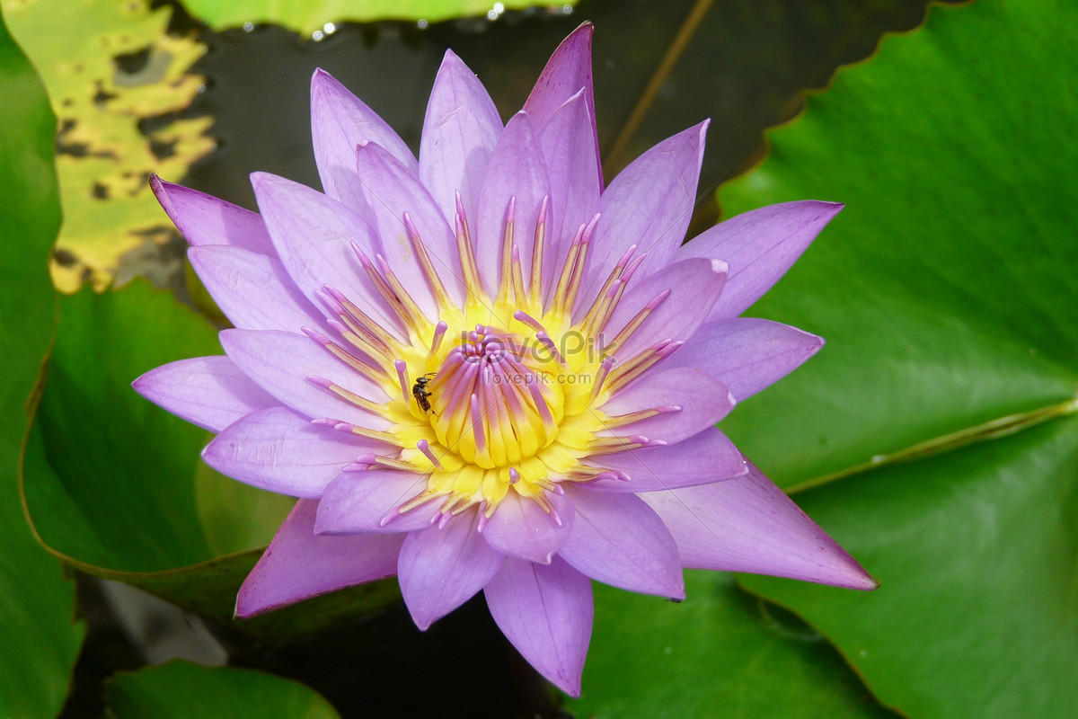 The Purple Lotus Flower In The Pond Photo Imagepicture Free