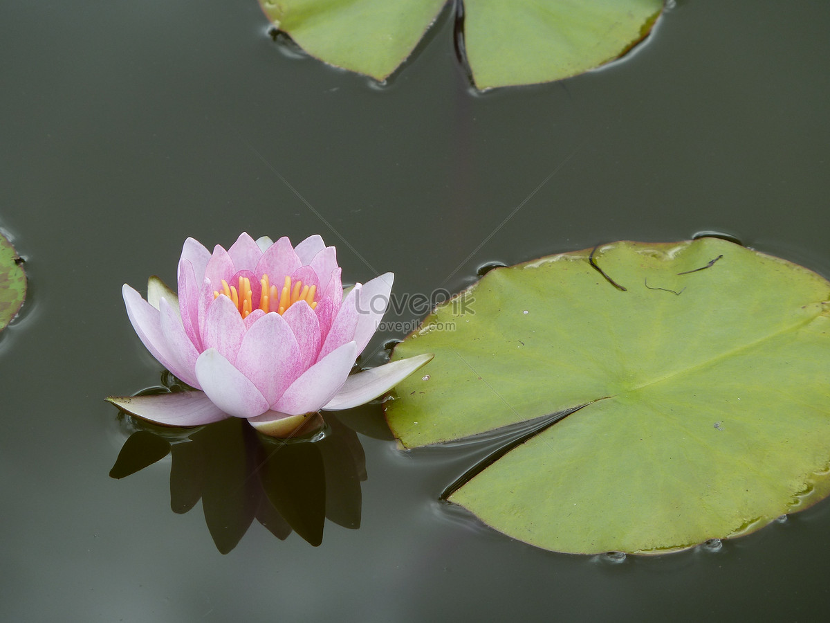 The Lotus Flower On The Surface Of The Water Photo Imagepicture