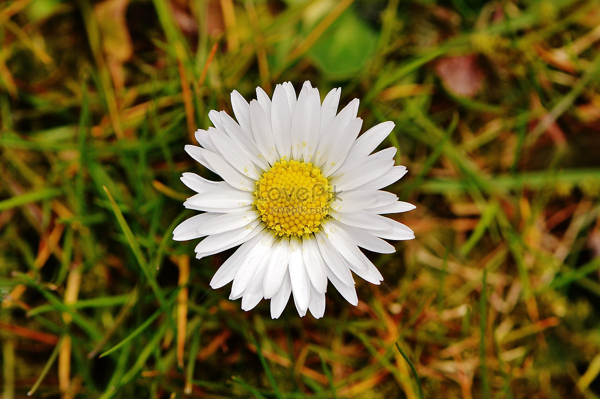 White Flowers Blooming In The Grass Photo Imagepicture Free