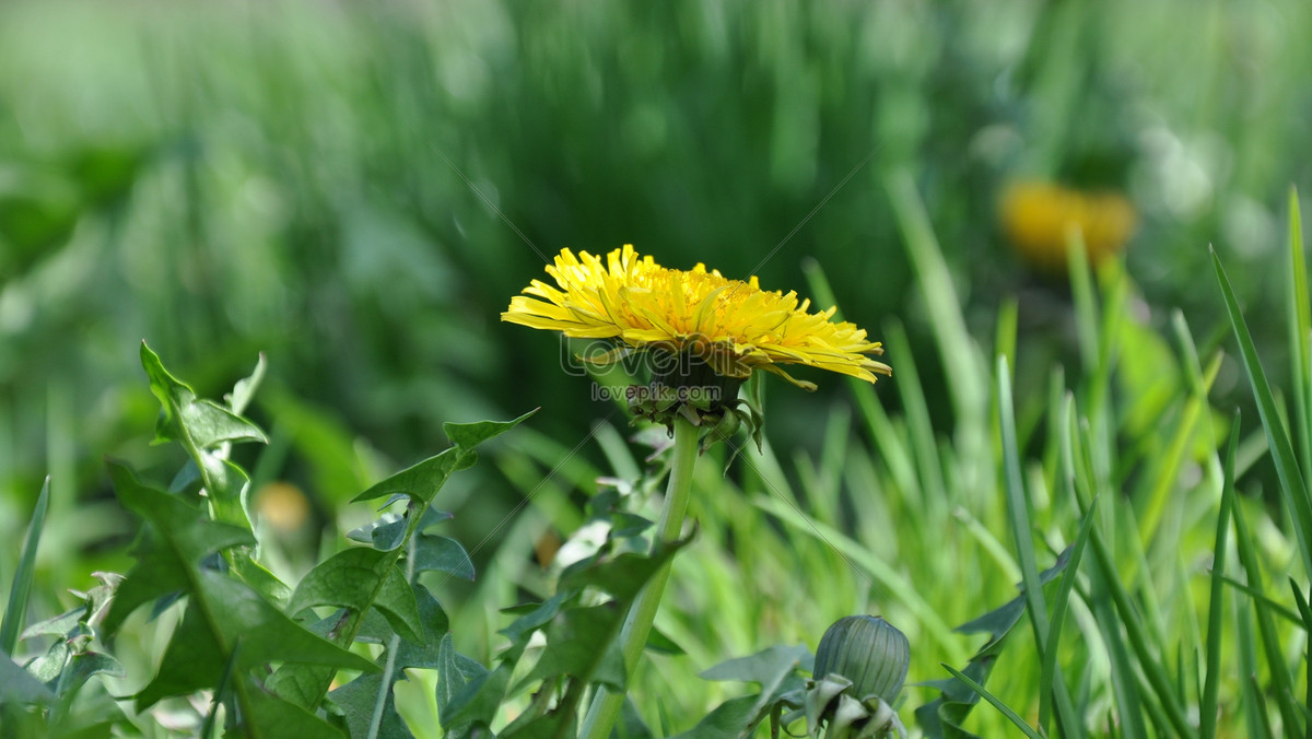 The Yellow Flowers In The Grass Photo Imagepicture Free Download