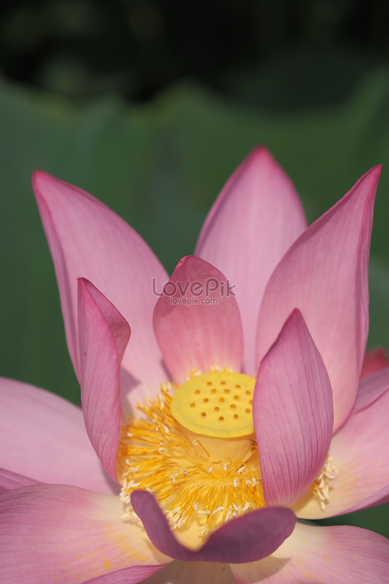 A Pink Lotus Flower Blooming Photo Imagepicture Free Download