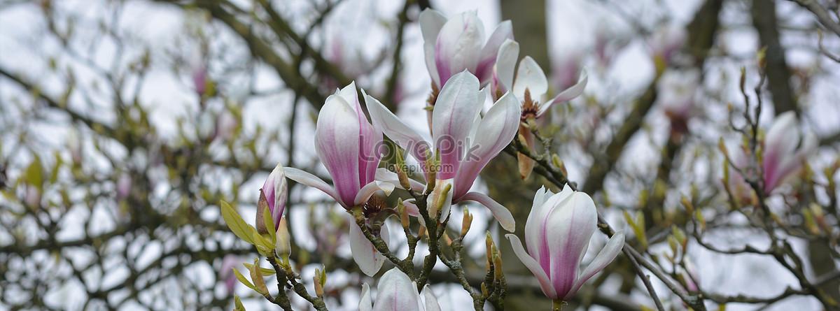 Many white flowers on a big tree photo imagepicture free download many white flowers on a big tree mightylinksfo