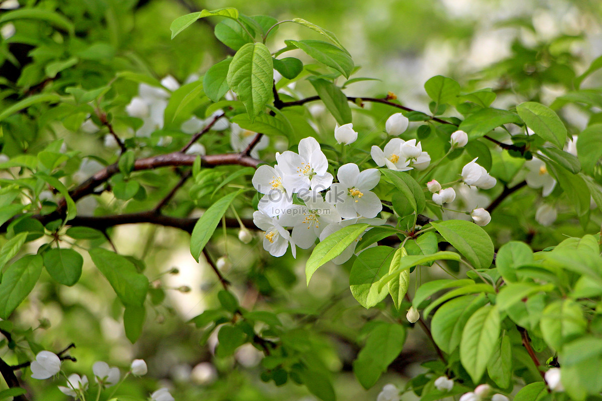A White Flower On A Big Tree Photo Imagepicture Free Download