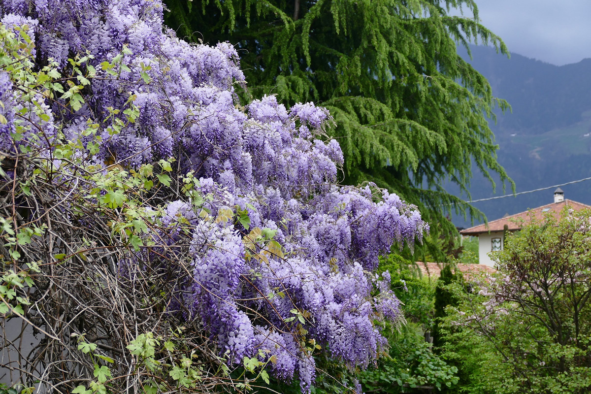 The Purple Flowers And Big Trees In The Woods Photo Imagepicture