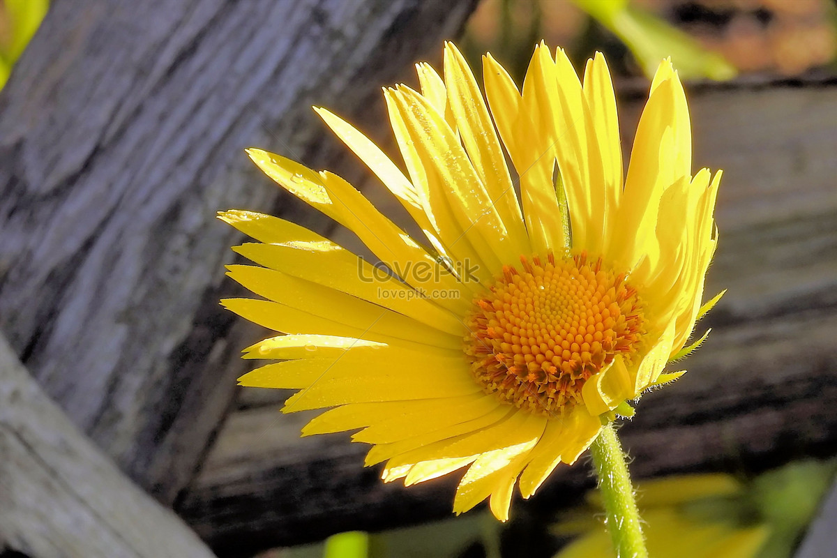 The Bright Yellow Flowers In Spring Photo Imagepicture Free