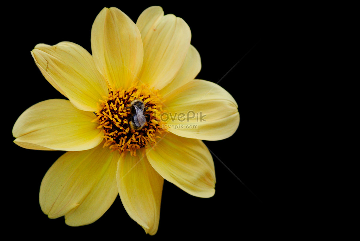 Small Yellow Flowers In Black Background Photo Imagepicture Free
