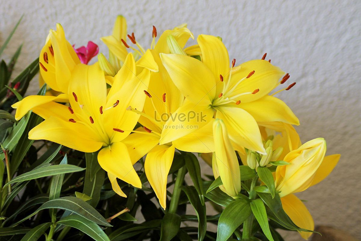 Small Yellow Flowers In The White Background Photo Imagepicture