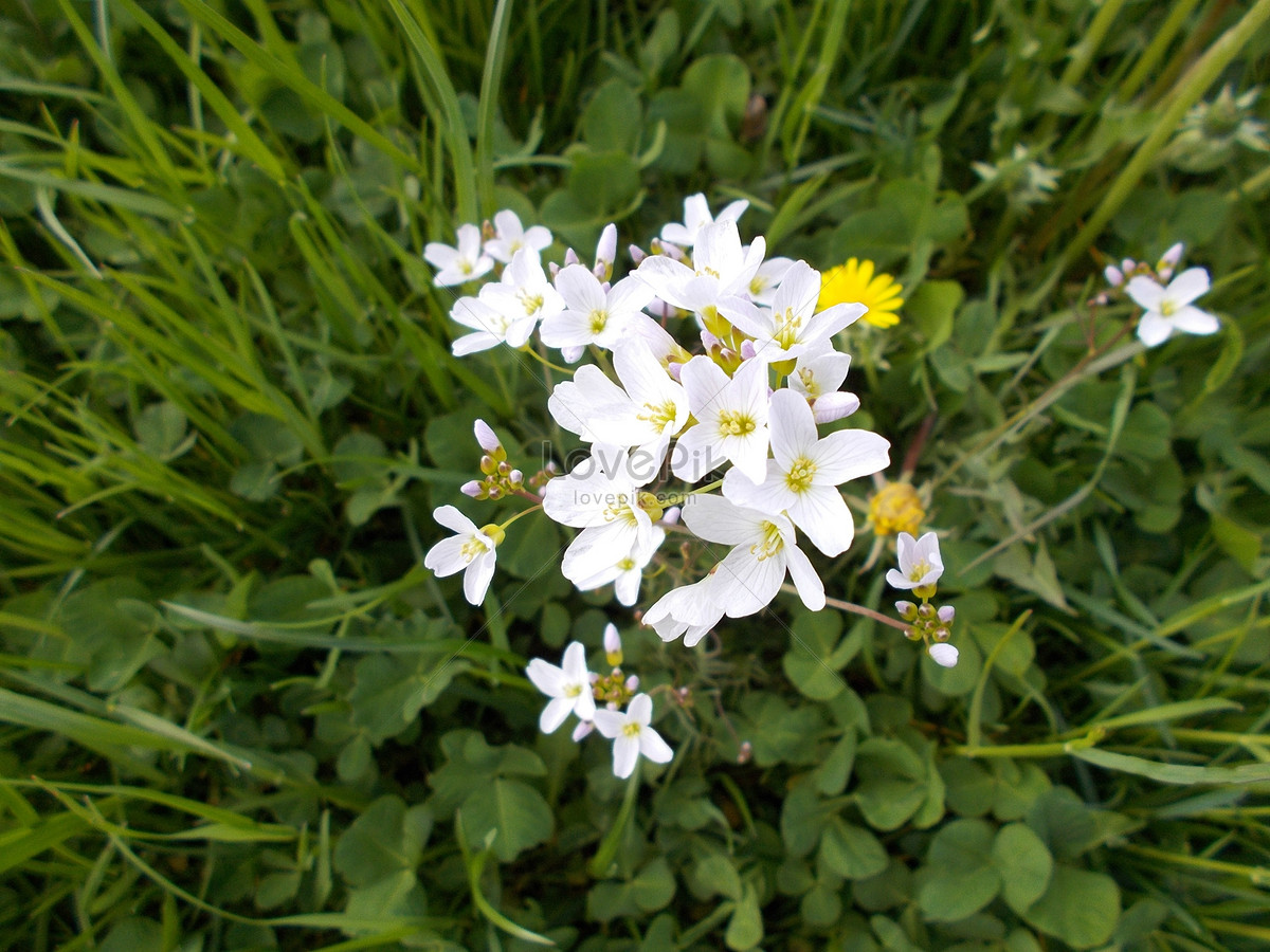 A Bunch Of White Flowers In The Green Grass Photo Imagepicture Free
