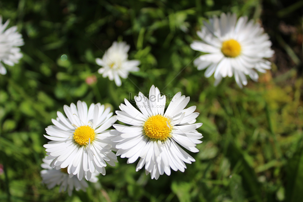 Small White Flowers On The Green Leaves Photo Imagepicture Free