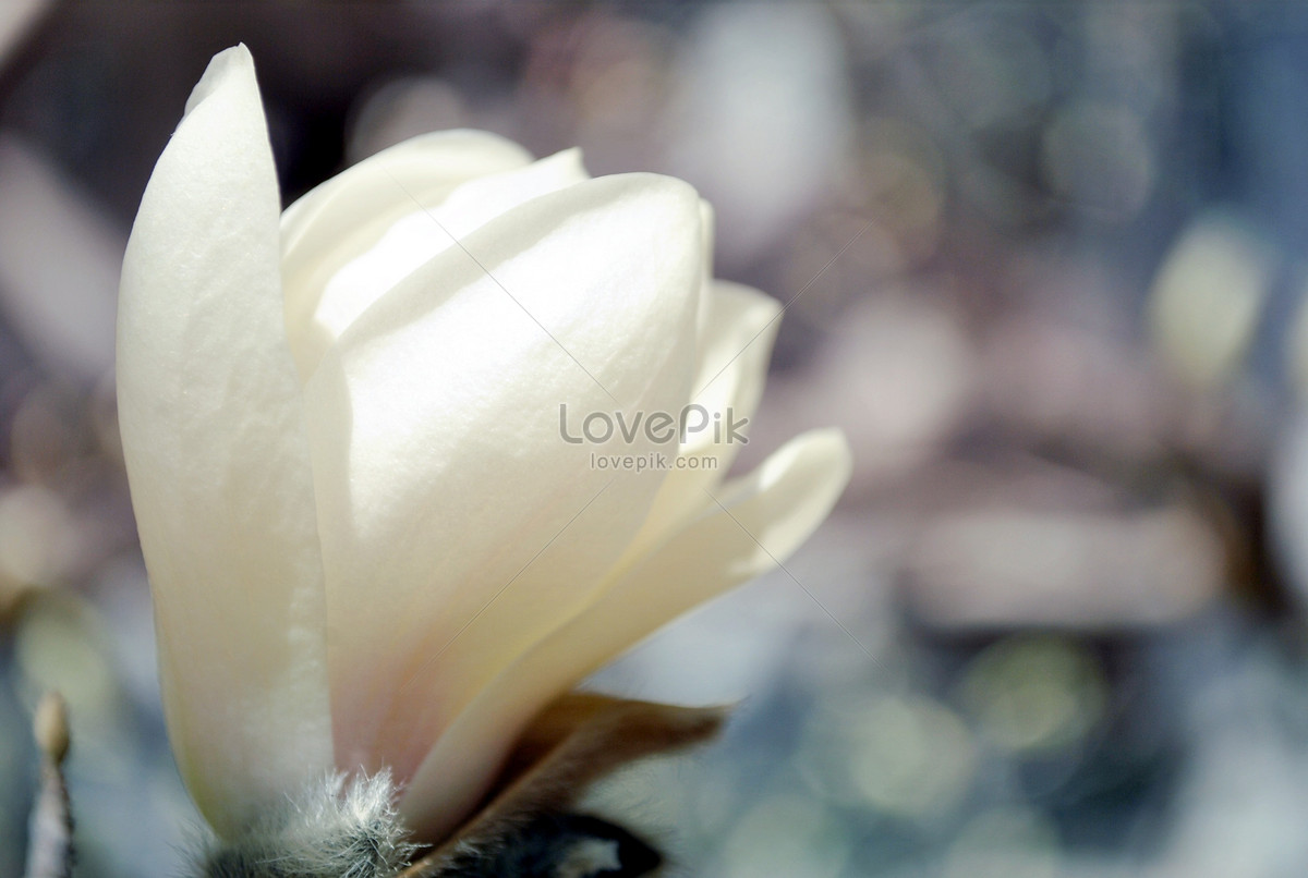 White Jade Orchid Feature Photo Imagepicture Free Download
