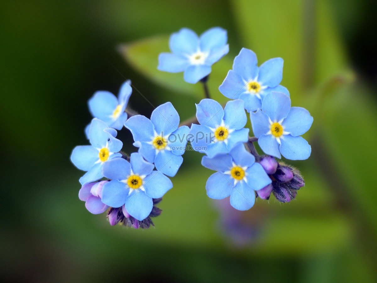 A Beautiful Blue Flower Photo Imagepicture Free Download