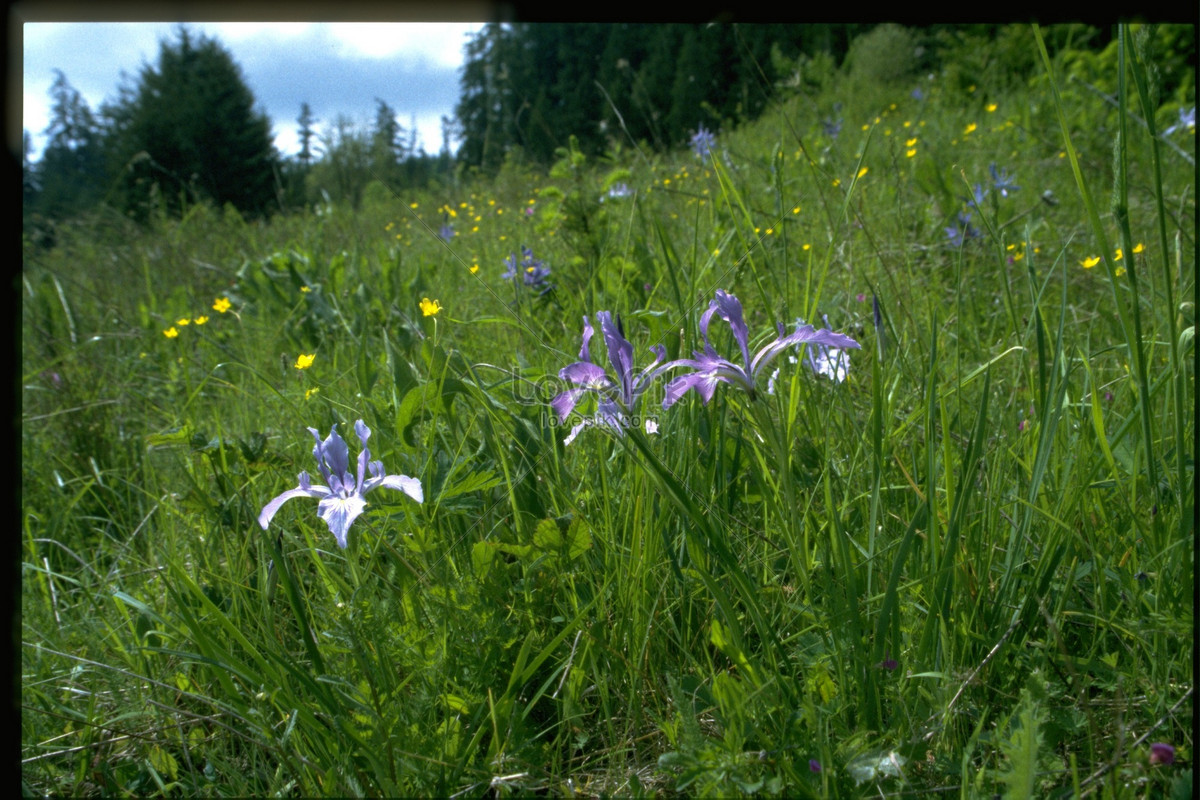 Purple Flowers In The Grass Photo Imagepicture Free Download
