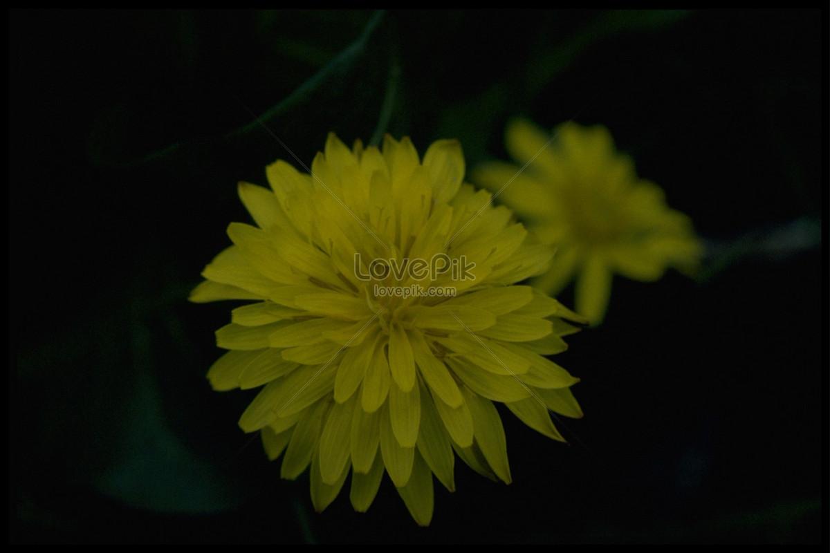 The yellow flowers in the dark photo imagepicture free download the yellow flowers in the dark mightylinksfo