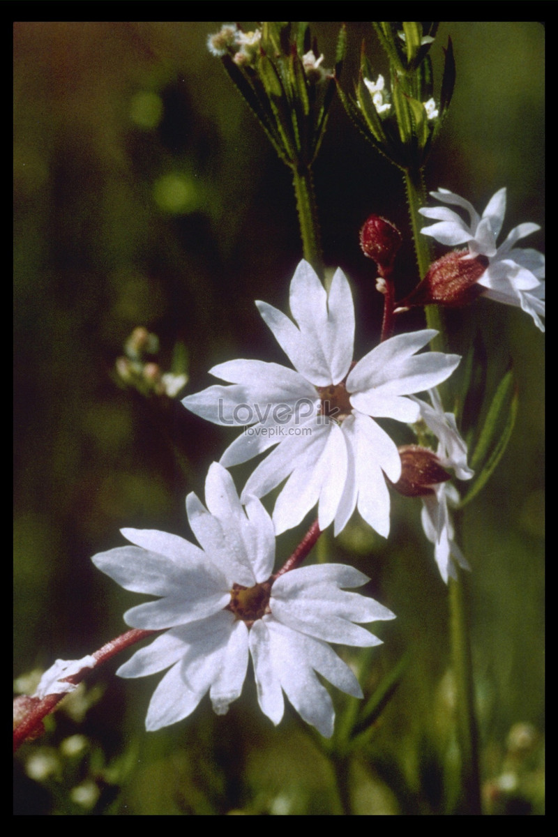 A Small White Wildflower In Full Bloom Photo Imagepicture Free