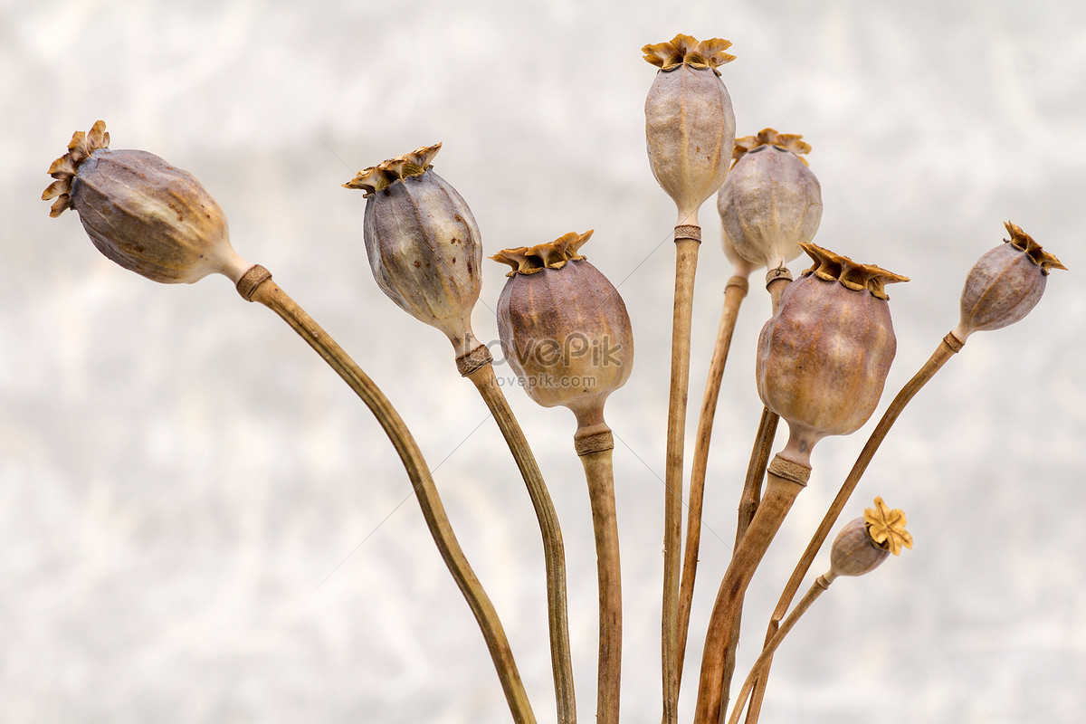 Dry Poppy Photo Imagepicture Free Download 100229364lovepik