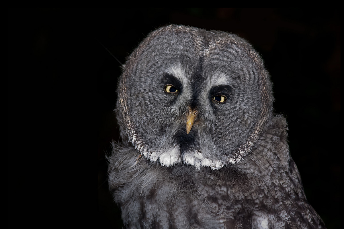 black background of owl photo image picture free download