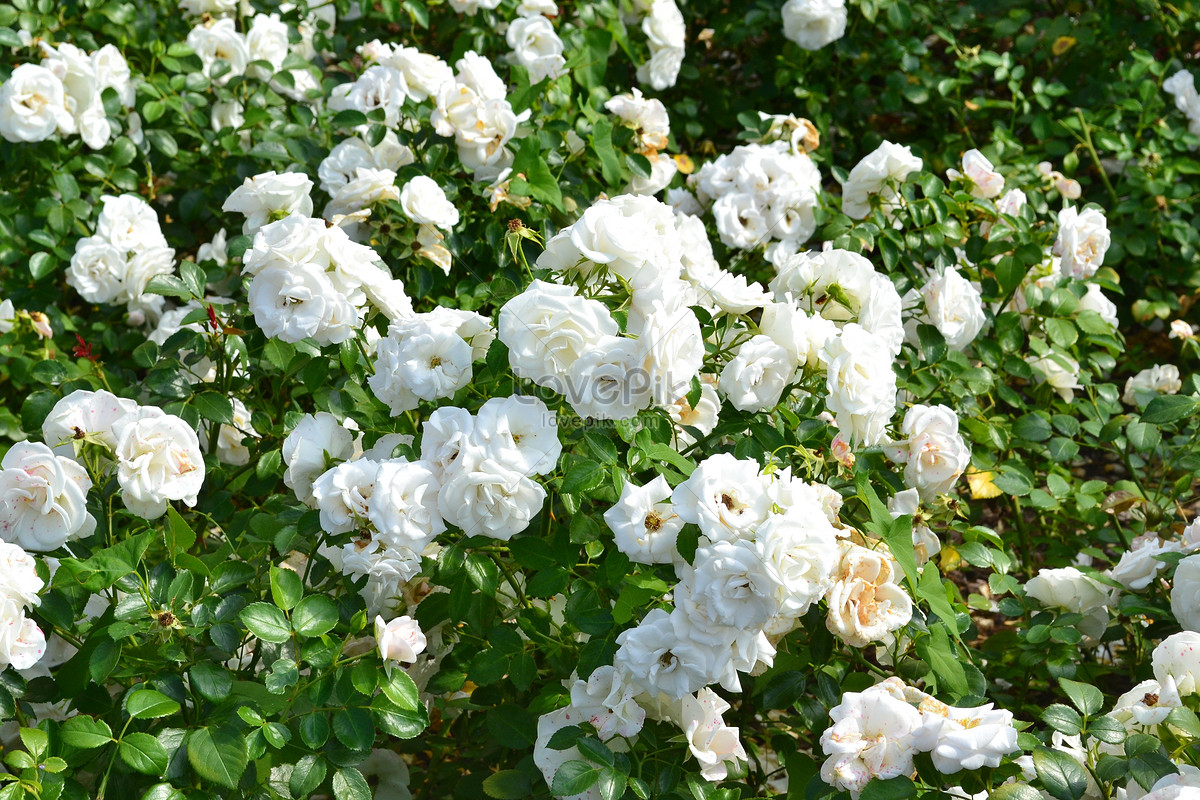 White Flowers In The Flower Bushes Photo Imagesnature Pictures