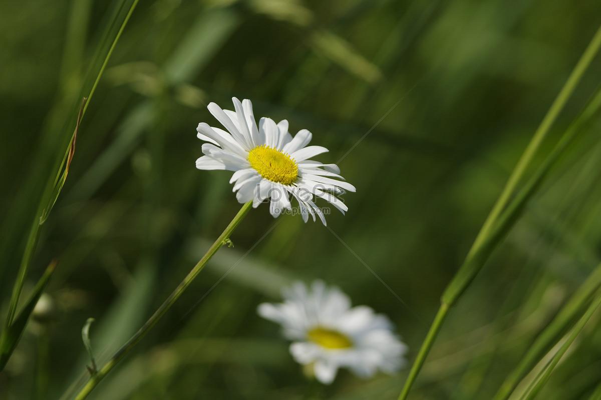 Flores Silvestres Blancas En La Hierba Imagen Descargar Foto