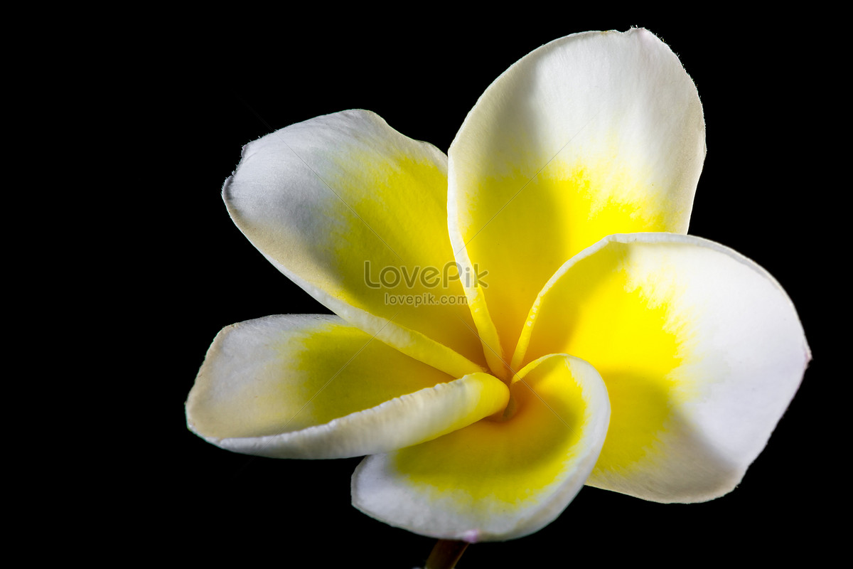 Five Petals Of Yellow Flowers Photo Imagepicture Free Download