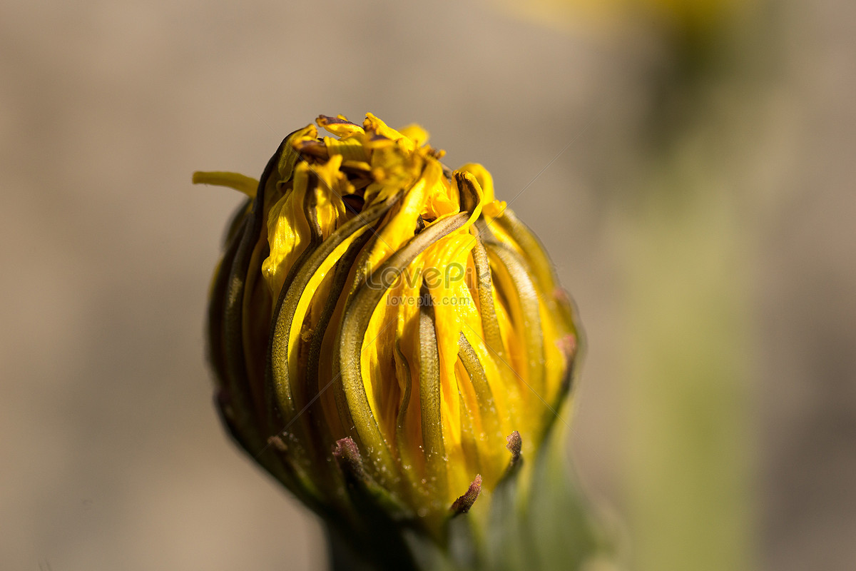 Yellow Flower Buds Photo Imagepicture Free Download