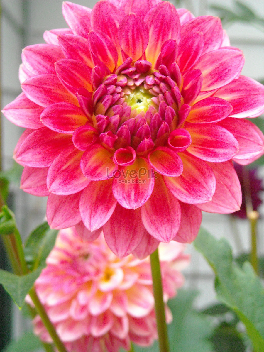 Large pink dahlia flower photo imagepicture free download large pink dahlia flower izmirmasajfo