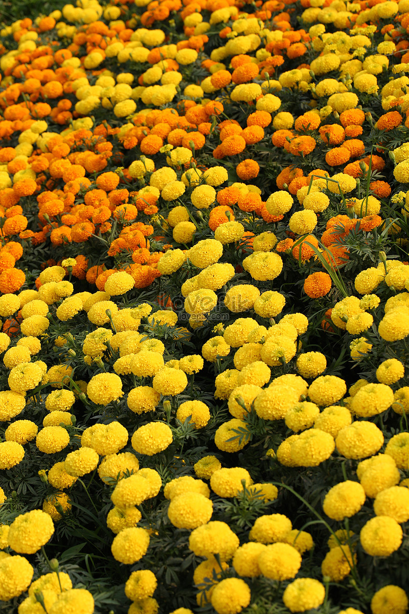 The Yellow Flowers In The Flower Bushes Photo Imagepicture Free