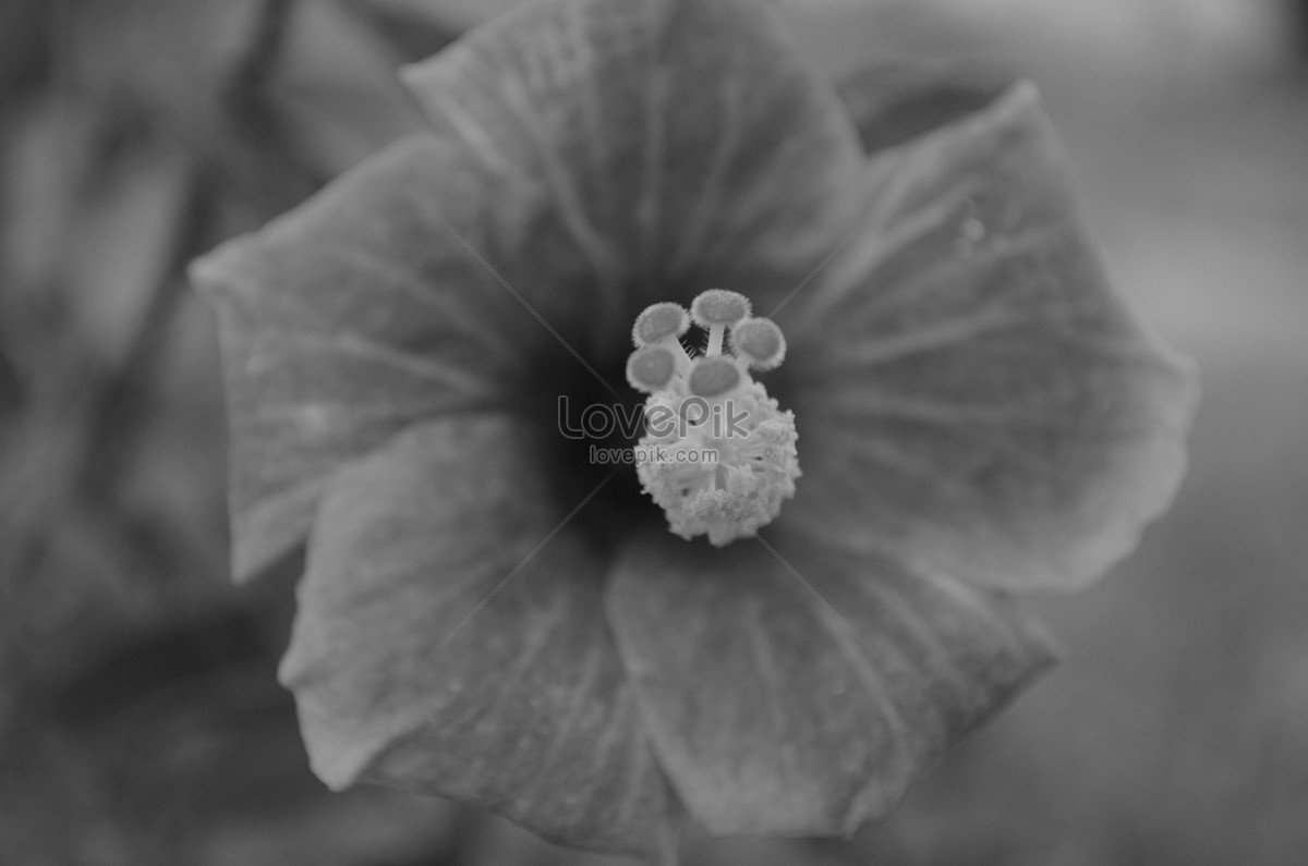 Blooming Black And White Flowers Photo Imagepicture Free Download
