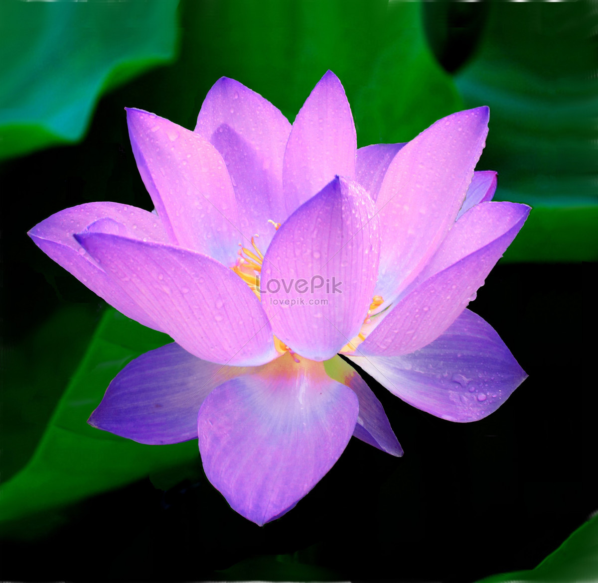 Purple lily flowers photo imagepicture free download purple lily flowers izmirmasajfo