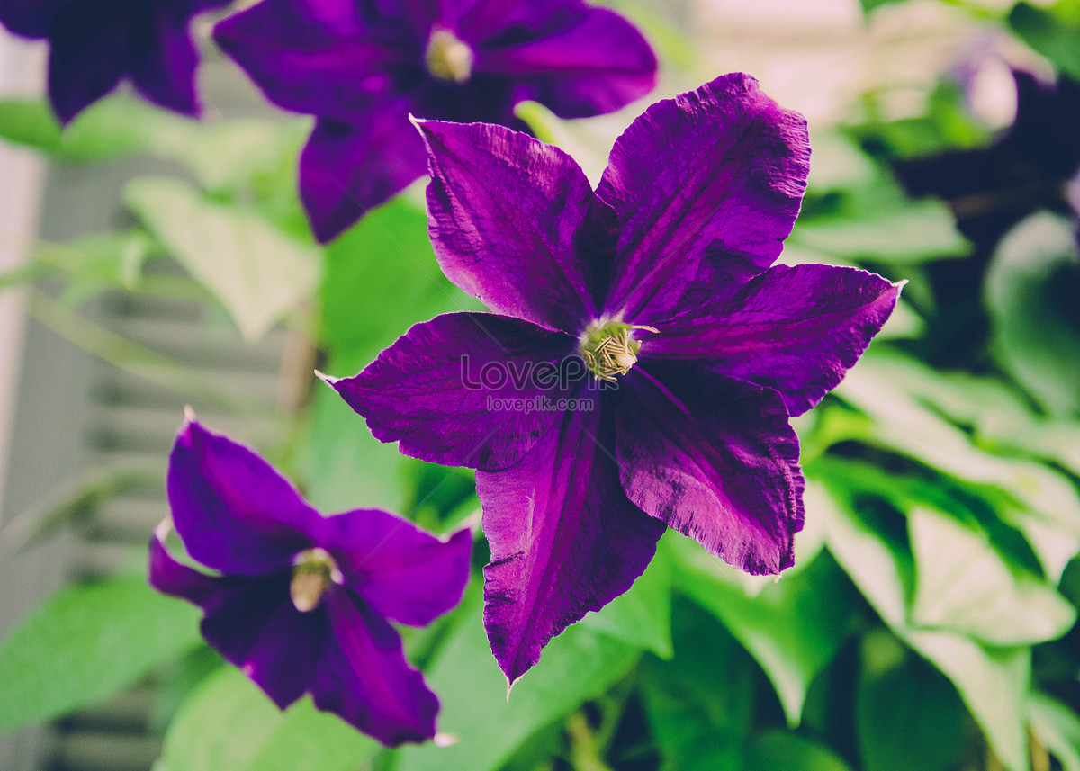 Purple Flower Petals Photo Imagesnature Pictures Id100341386lovepik