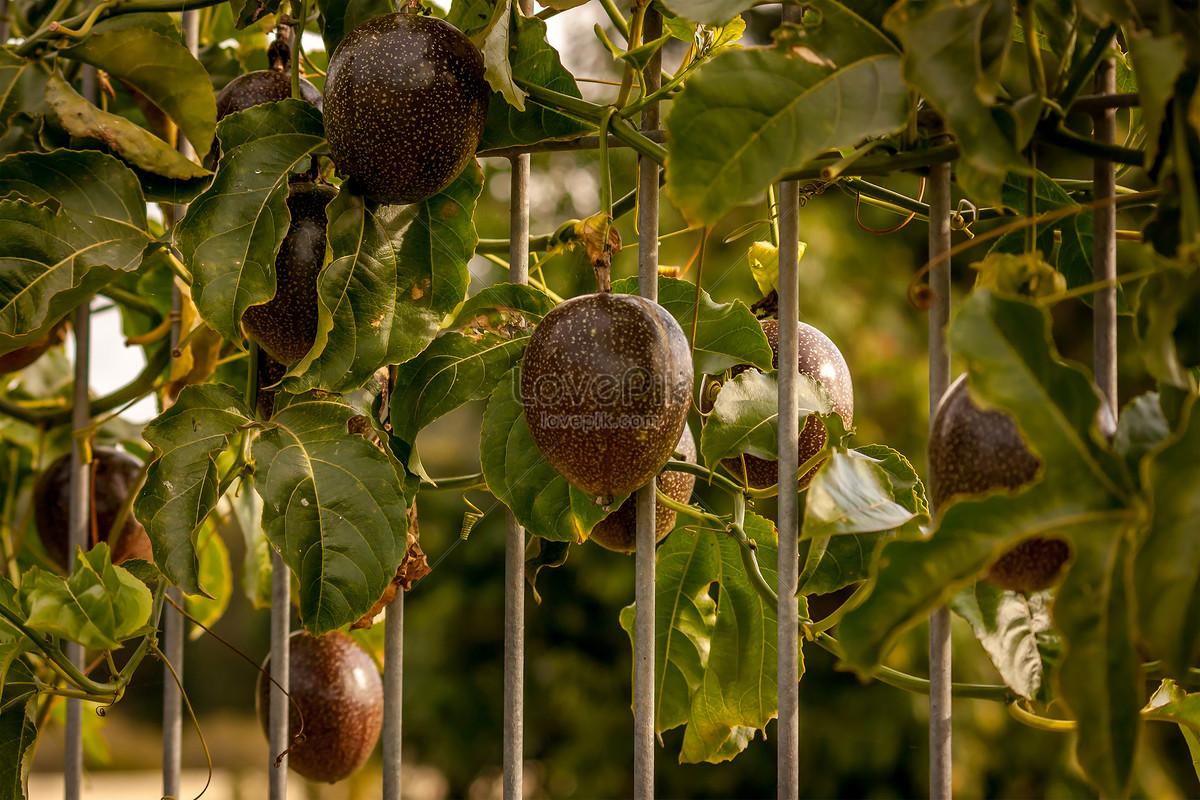 Photo De La Vigne Du Fruit De La Passion Est Une Plante Grimpante A