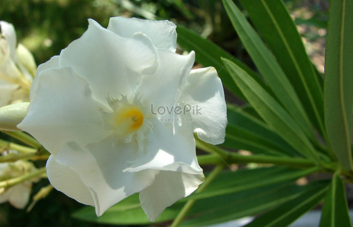 White Oleander Flower Photo Imagepicture Free Download