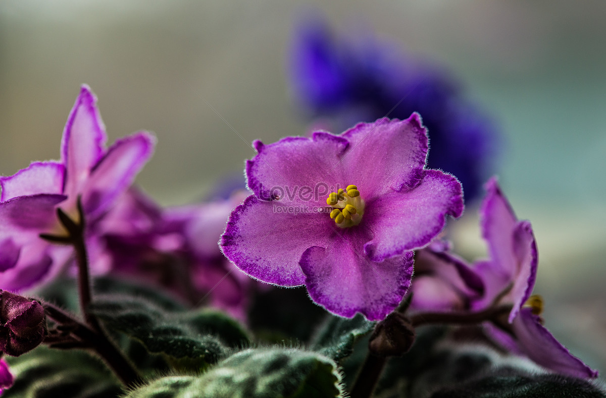 Edible Flower Photo Imagepicture Free Download 100415816lovepik