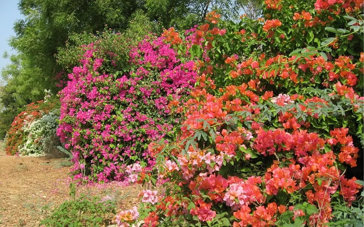 Bougainvillae Flowers In India During The Colourful Spring Photo
