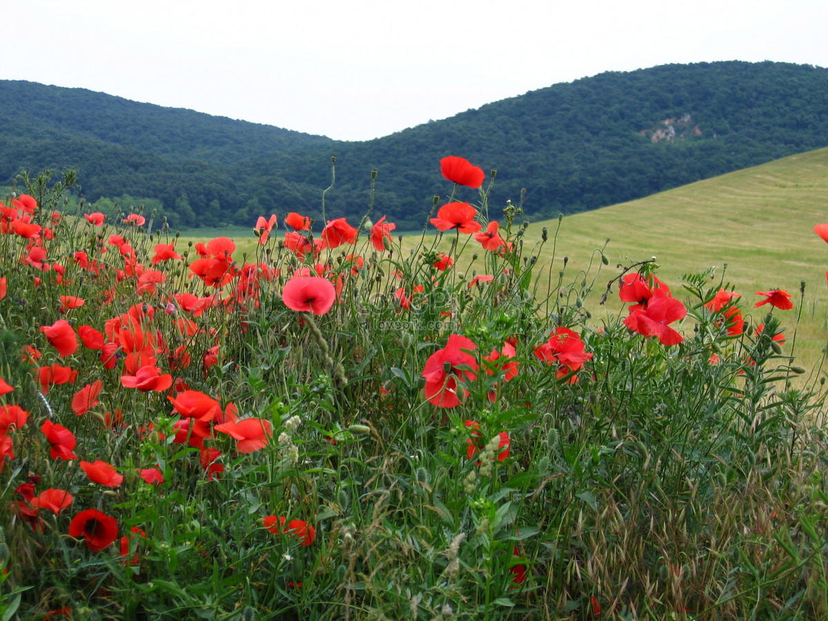The Red Poppy The Typical Hungarian Nature Photo Imagepicture Free