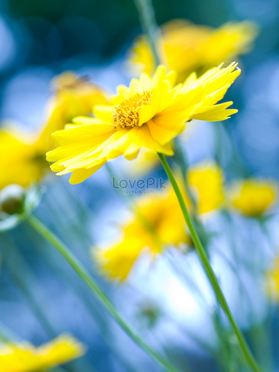 Beautiful Yellow Flowers Blooming Along A River In May Photo
