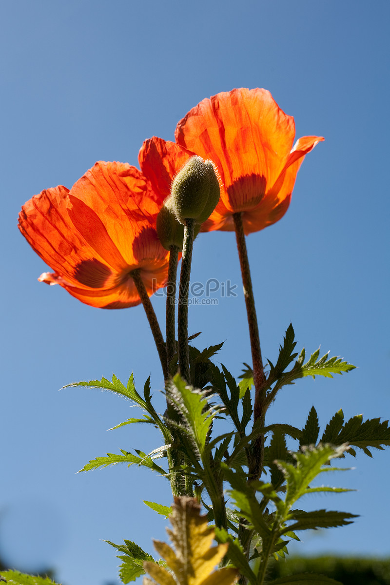 For The Production Of Heroin And Opium Flowering Plants Check W