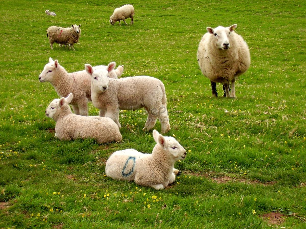 かわいい子羊と羊