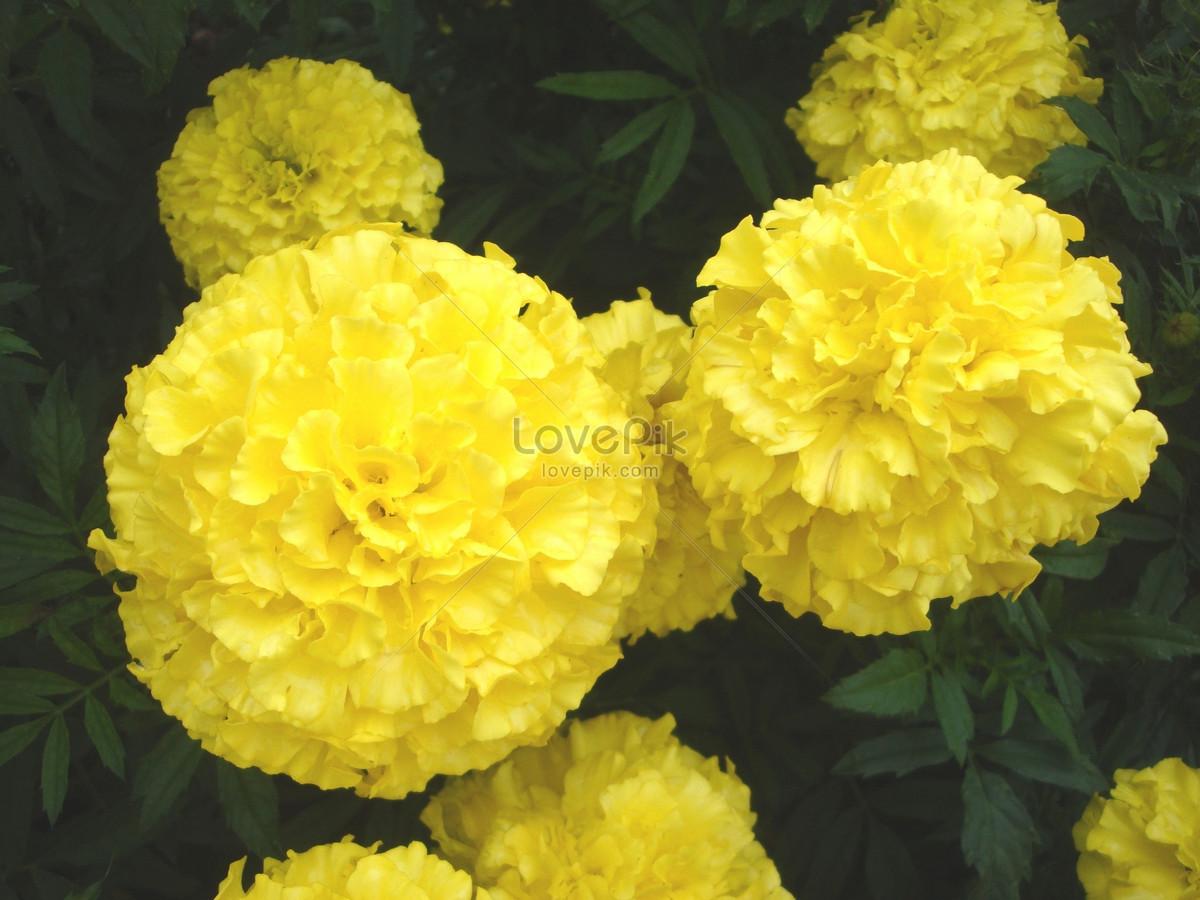 Beautiful Yellow Marigold Flowers It Looks Like A Ball Remindi