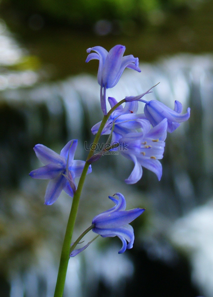 Small blue flowers in scotland photo imagepicture free download small blue flowers in scotland izmirmasajfo
