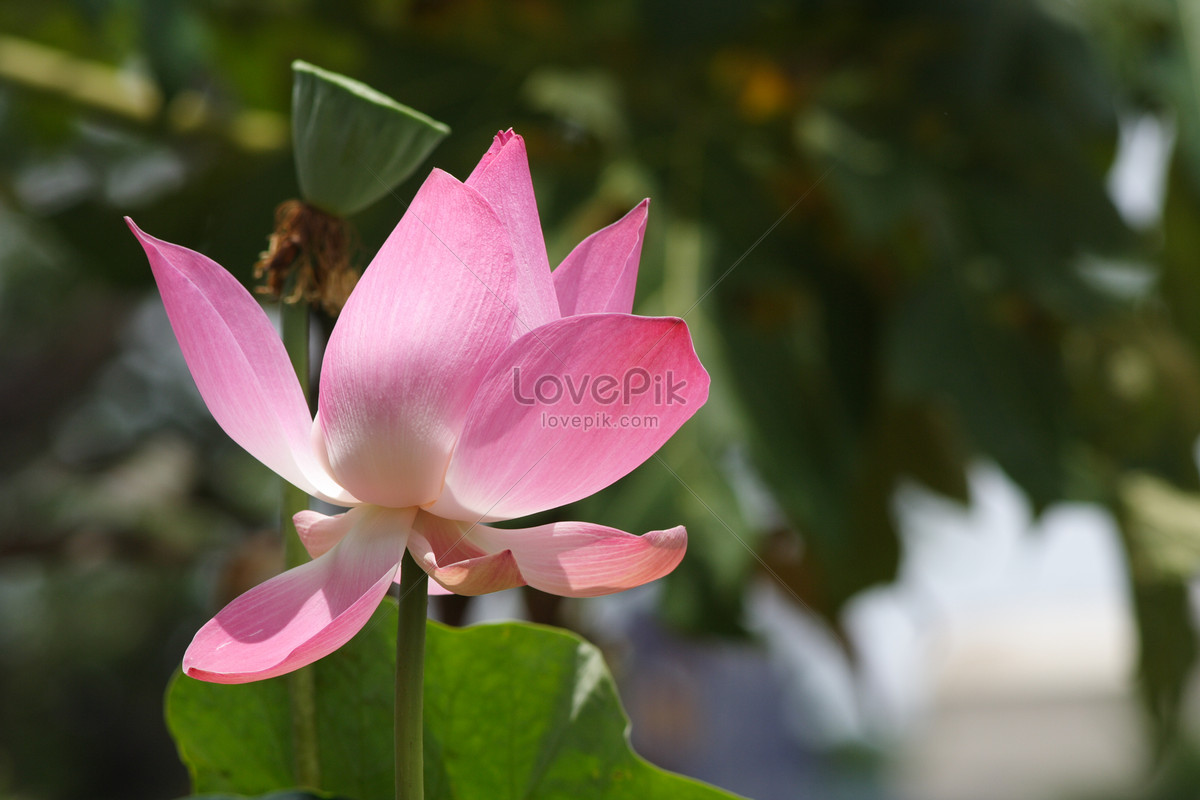 Pink Sweet Lotus Root Photo Imagepicture Free Download