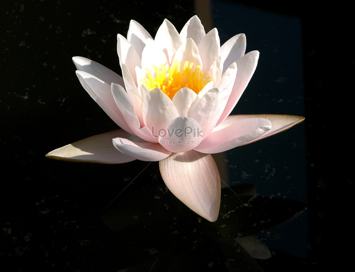 A Lovely Lotus Flower Photo Imagepicture Free Download