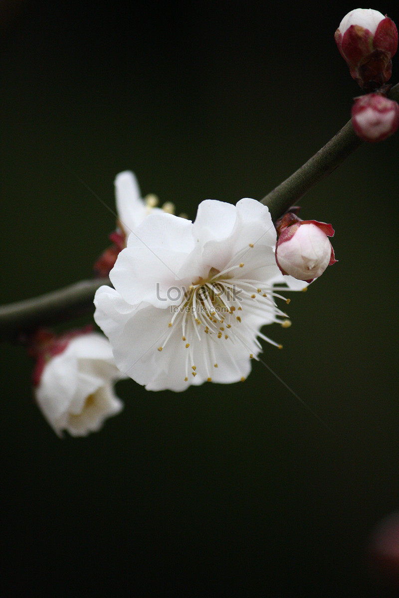 White Plum Plum Flower White Photo Imagepicture Free Download