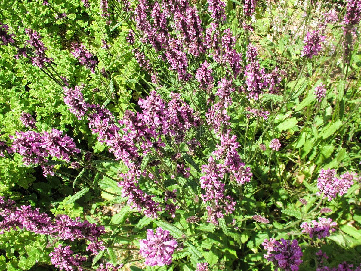 A Blooming Purple Flower Bush Photo Imagepicture Free Download