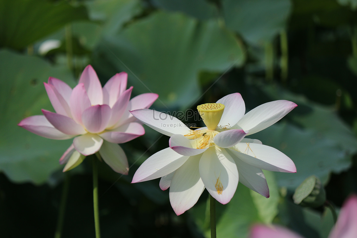 A Lotus Flower In Full Bloom Photo Imagepicture Free Download