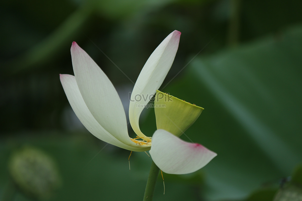 The Fading Lotus Flower Photo Imagepicture Free Download