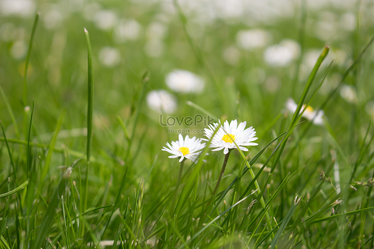 White Flowers On The Grass Photo Imagepicture Free Download