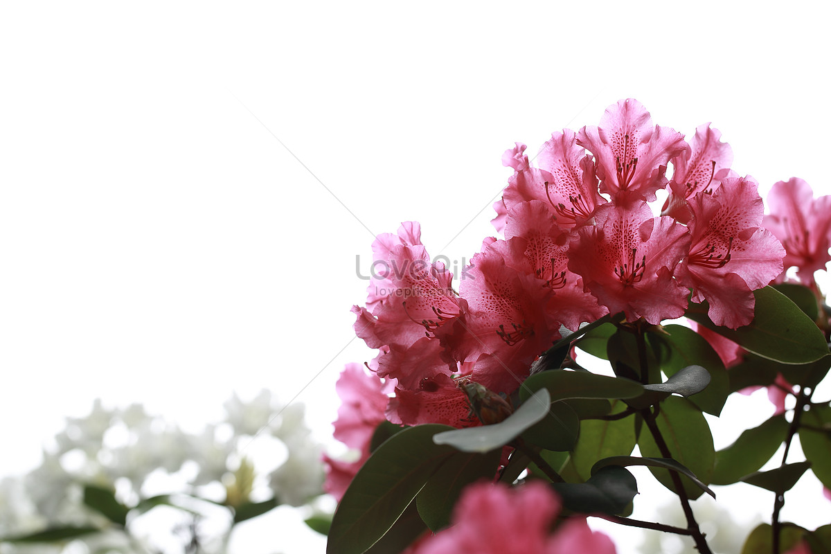 a beautiful flower photo image_picture free download