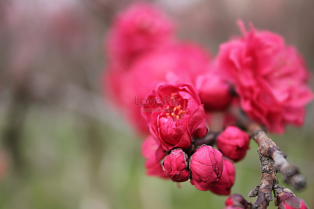 Peach Blossom Red Flower Purple Flower Grass Natural Scenery Map